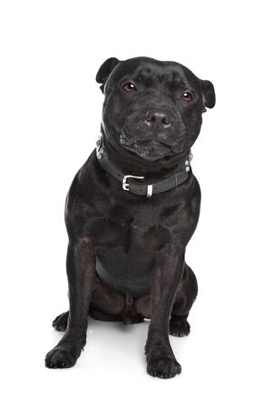 Staffordshire Bull Terrier in front of a white background Stock Photo - 13407246