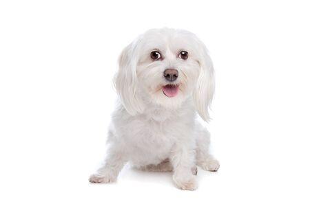 white maltese: Maltese dog in front of a white background