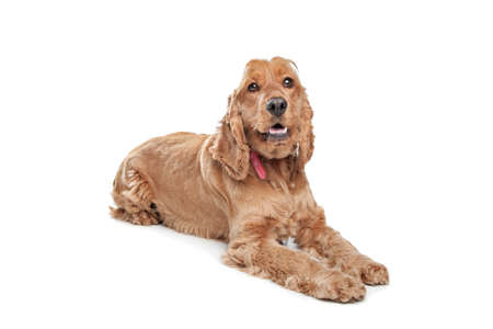 pedigree: Brown cocker spaniel dog in front of a white background