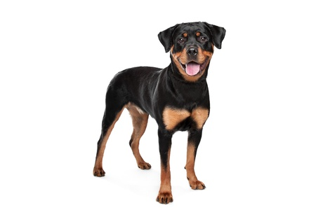 Rottweiler in front of a white background Imagens - 13403449