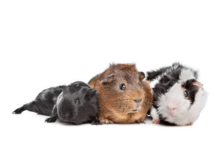 cavie: tre porcellini d'India di fronte a uno sfondo bianco Archivio Fotografico