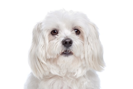maltese dog: Maltese dog in front of a white background
