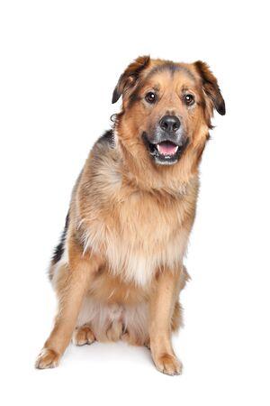 Mixed breed dog. Dutch Shepherd,Dogue de Bordeaux Stock Photo - 13407261