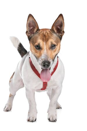 jack russel: Jack Russel Terrier in front of a white background Stock Photo