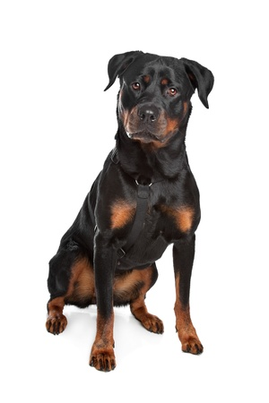 Rottweiler in front of a white background Stock Photo - 13407250