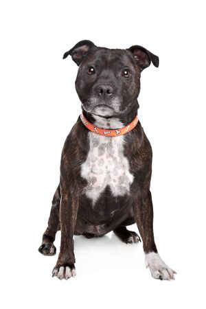 Staffordshire bull terrier in front of a white background Stock Photo - 13407226