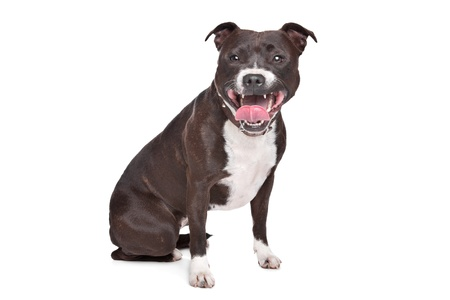bull dog: Staffordshire bull terrier in front of a white background