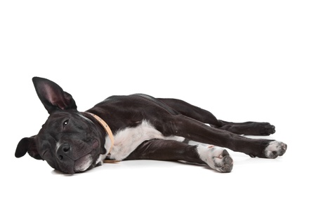 American Staffordshire Terrier puppy in front of white photo