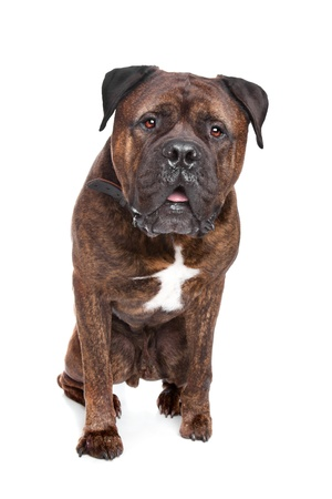 brindle: brindle Bullmastiff in front of a white background