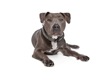 american staffordshire terrier: American staffordshire terrier in front of a white background Stock Photo