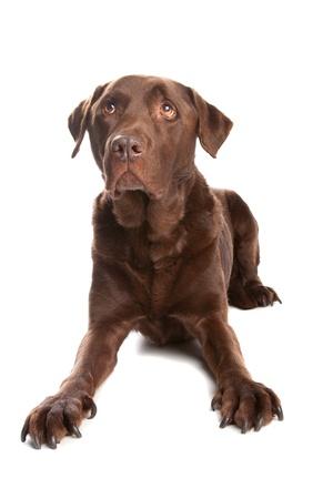 perro labrador: Chocolate Labrador Foto de archivo