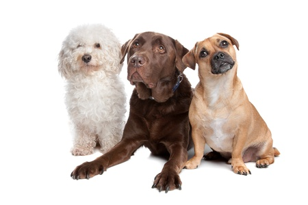 group of animals: maltese, chocolate labrador and a mixed breed