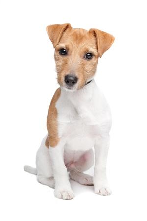 Jack Russel Terrier Hund vor einem weißen Hintergrund