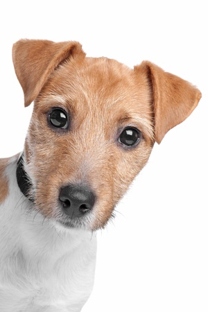Jack Russel Terrier dog in front of a white background Imagens - 13933725