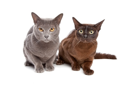two Burmese cats in front of a white background Imagens