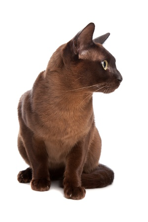 burmese: Burmese cat in front of a white background