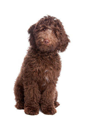 Labradoodle puppy in front of a white background