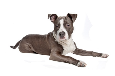 american staffordshire terrier: American Staffordshire Terrier puppy