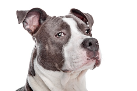 American Staffordshire Terrier puppy Stock Photo - 13933726