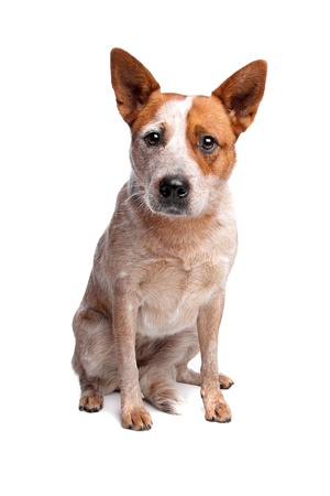 boeufs: Australian Cattle Dog manteau rouge en face de fond blanc