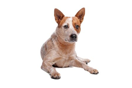 red heeler: Australian Cattle Dog  red coat  in front of white background