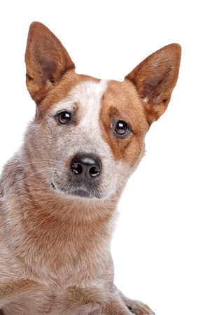 herding dog: Australian Cattle Dog  red coat  in front of white background