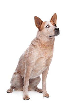 heeler: Australian Cattle Dog  red coat  in front of white background