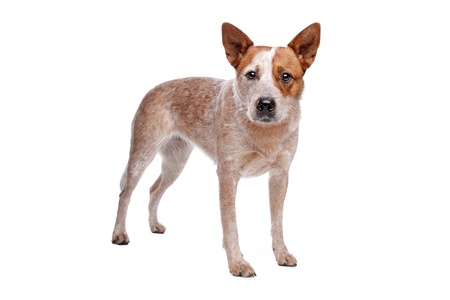 Australian Cattle Dog  red coat  in front of white background