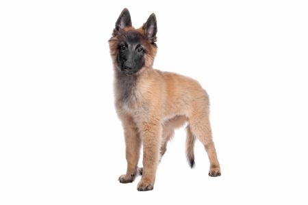 chien: Belgian Shepherd  Tervuren  puppy in front of a white background