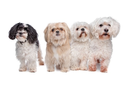 shih tzu: a shih tzu, two maltese dogs and a mix