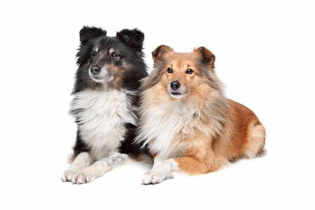sheltie: Shetland Sheepdog, Sheltie