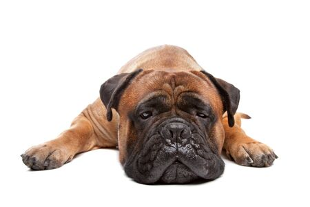Bullmastiff in front of a white background photo