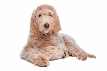 Labradoodle puppy in front of a white background Imagens - 13933745