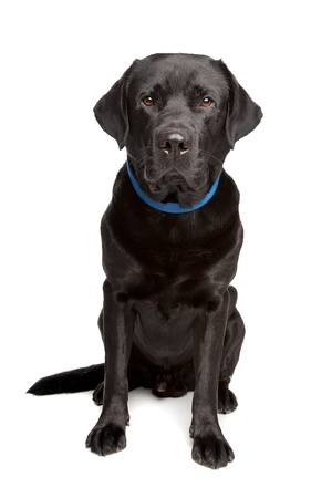 black labrador retriever in front of a white background photo