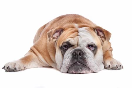 perezoso: Bulldog Ingl�s en frente de un fondo blanco