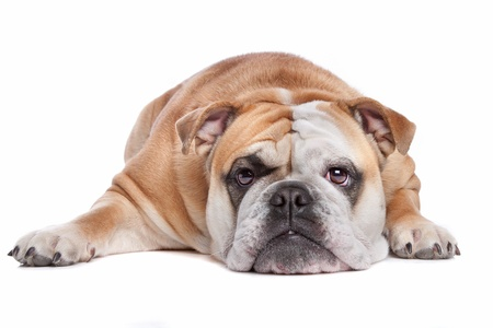 lazy: English bulldog in front of a white background