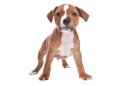 bull terrier: Staffordshire Bull Terrier puppy in front of white