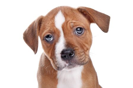 Staffordshire Bull Terrier puppy in front of white photo