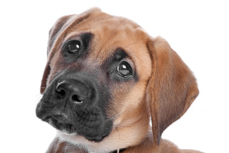 mixed breed puppy  mix from a boxer and a labrador photo