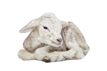 one day old Lamb in front of a white background Stock Photo