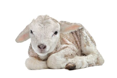 spring lambs: one day old Lamb in front of a white background Stock Photo