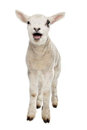 Lamb in front of a white background photo