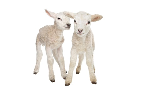Two little lambs in front of a white background photo