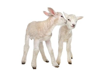 흰색 배경 앞의 두 어린 양