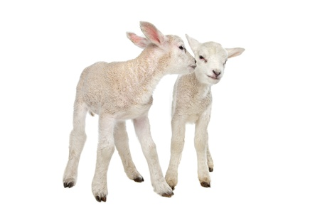 spring lambs: Two little lambs in front of a white background