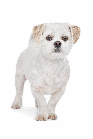 Mixed breed dog Maltese, Shih Tzu photo