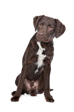 Mezcla de perro de raza Labrador, Münsterländer Foto de archivo - 14330491