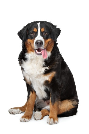 sennenhund: Bernese Mountain Dog in front of a white background Stock Photo