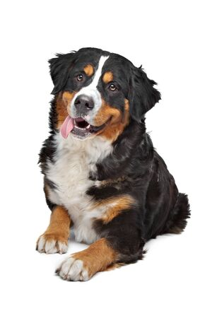 bernese dog: Bernese Mountain Dog in front of a white background Stock Photo