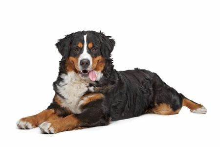 Bernese Mountain Dog in front of a white background Foto de archivo